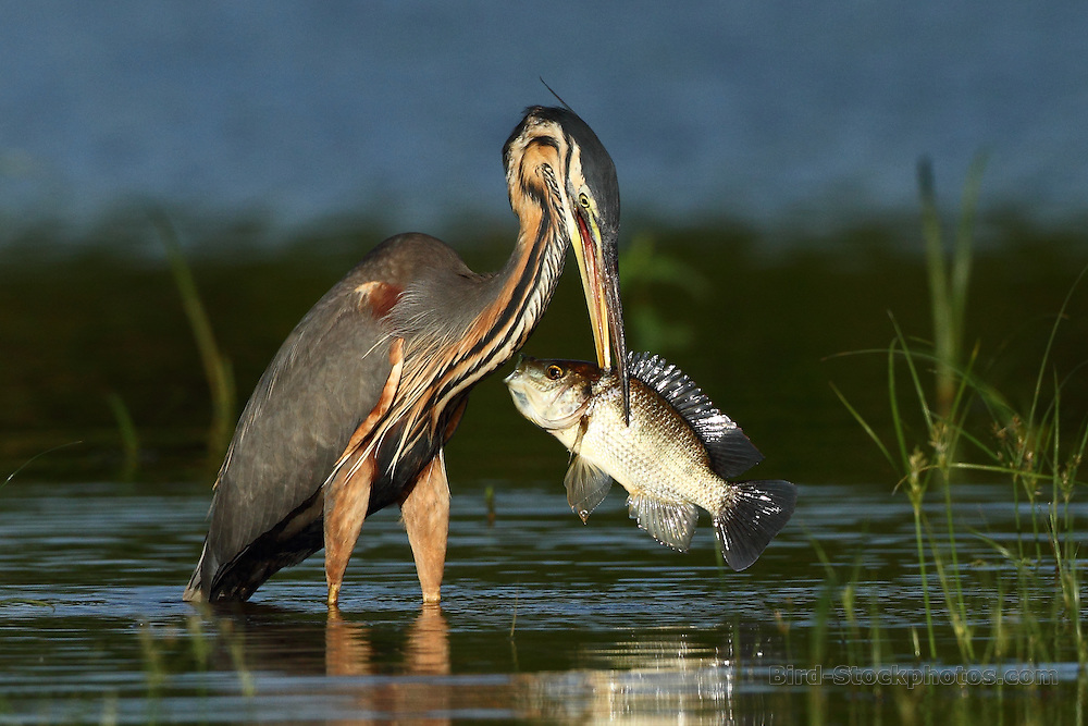 Purple Heron, Ardea purpurea, with large fish, Ravelobe, Madagascar, by Markus Lilje