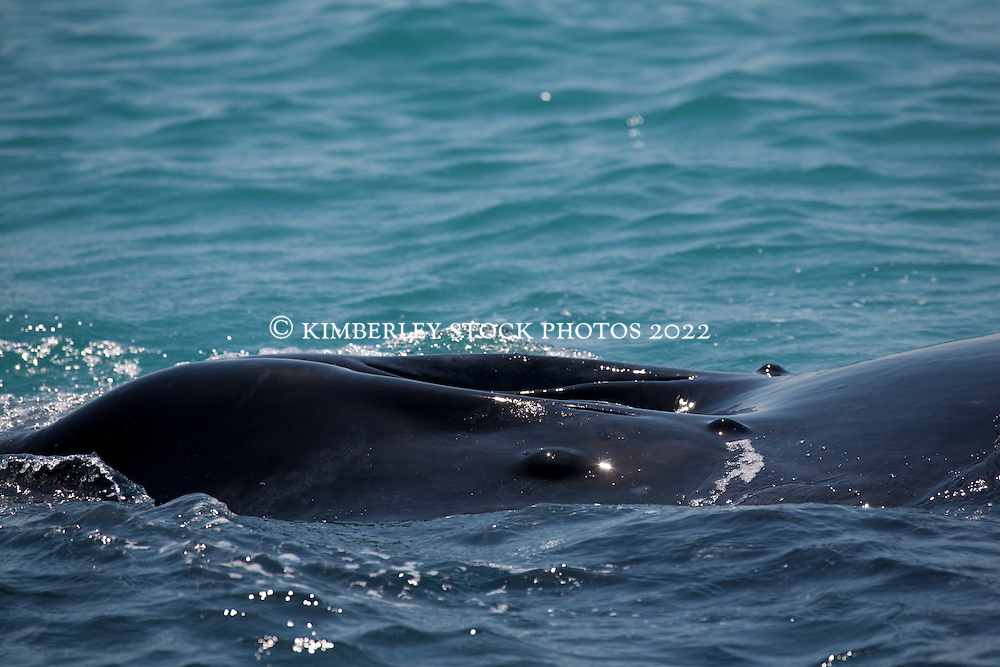 Looking down into a Humpback whale's blowhole