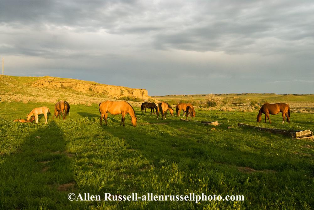 Quarter Horses, mares and foals