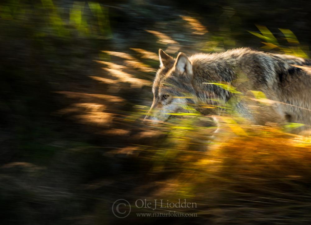 Wild Grey wolf (Canis lupus) in Katmani National park, Alaska, US
