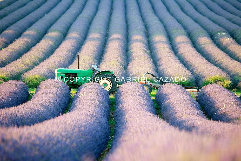 Lavender Harvest in French Provence<br /> in Grignan fields. Dr&ocirc;me.Rh&ocirc;ne-Alpes.