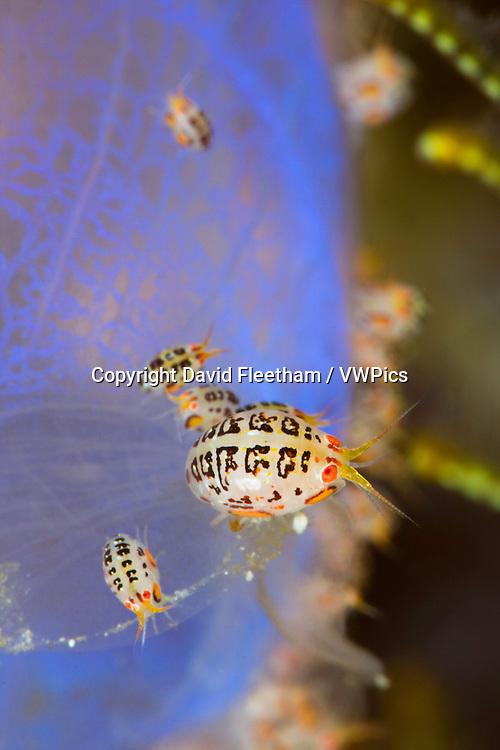 Gammaridean isopod  Cyproidea sp. Komodo, Indonesia.