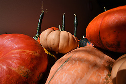 September 7, 2016 - Philippsthal, Brandenburg, Germany - Pumpkins can be seen during the morning sun at a farm in Philippsthal, Germany, 7 September 2016. The pumpkin harvest of the early types has started. PHOTO: RALF HIRSCHBERGER/dpa (Credit Image: © Ralf Hirschberger/DPA via ZUMA Press)