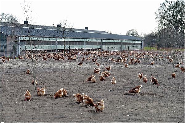 Nederland, Lunteren, 18-4-2015 Kippenfarm met leghenne. Vrije uitloopkippen. Foto: Flip Franssen/Hollandse Hoogte