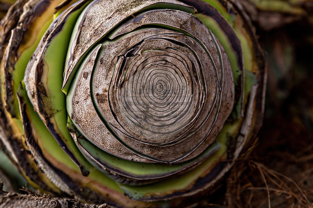A close up of a fresh blue agave heart at an artisanal Mezcal distillery November 5, 2014 in Matatlan, Mexico. Making Mezcal involves roasting the blue agave, crushing it and then fermenting the liquid.