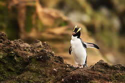 Erect-crested Penguin (Eudyptes sclateri) at Antipodes Island, New Zealand
