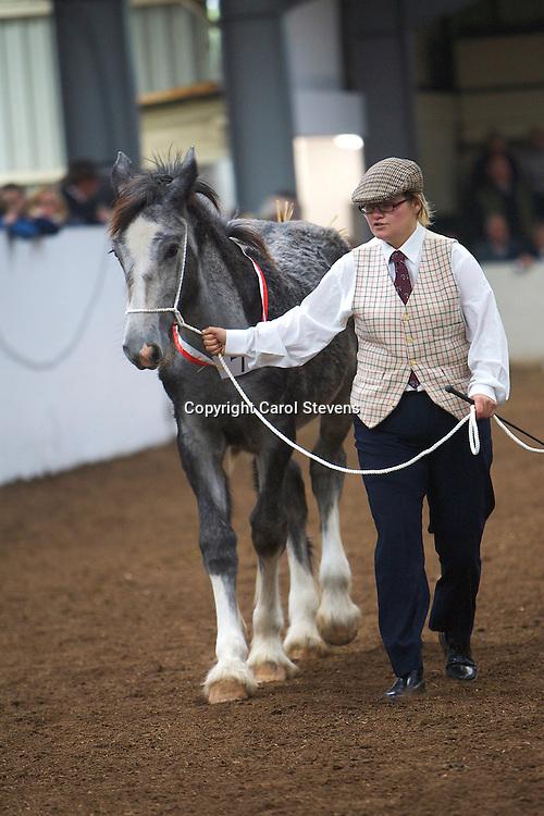 North West and Wales Shire Foal Society Show 2012<br /> Mr F R Evans's Carington Elisabeth  f 22/04/12<br /> Sire   Burlington Parkloos Valley   Dam Holmewood Misty