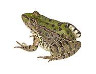 Levant Water Frog - Pelophylax bedriague
