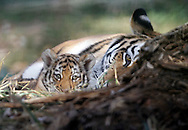 Two new baby tigers were unveiled at the Assiniboine Park Zoo, October 3rd, 2011. (TREVOR HAGAN)