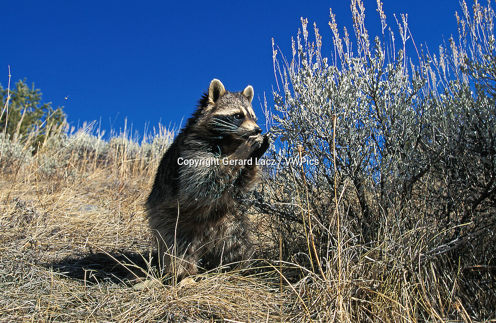 Raccoon, procyon lotor, Adult sitting, Eating Berries