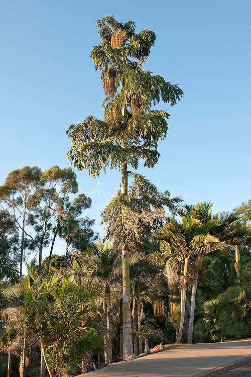 Caryota urens (Fishtail palm) growing in Palm Canyon, Balboa Park, San Diego, California, USA.