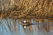 Swimming Male Hooded merganser