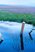THIS PHOTO IS AVAILABLE FOR WEB DOWNLOAD ONLY. PLEASE CONTACT US FOR A LARGER PHOTO. Idaho. Spring run off fills the Camas filled Centenial Marsh near Hill City.