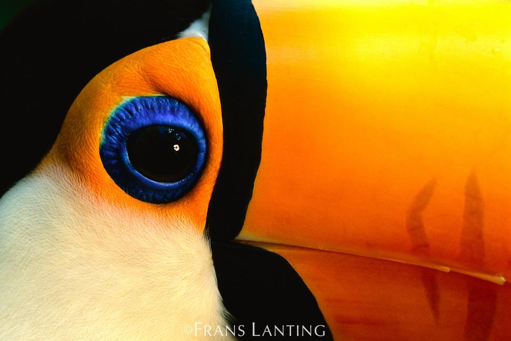 Toco toucan face, Pantanal, Brazil