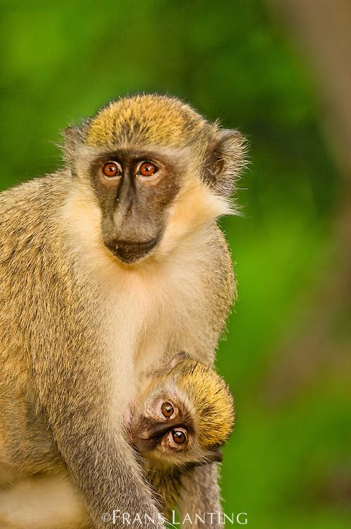 Green vervet monkey mother and young, Chlorocebus sabaeus, Niokolo-Koba National Park, Senegal