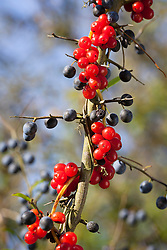 Black Bryony berries growing in an autumn hedgerow with sloes (Blackthorn). Tamus communis, Prunus spinosa