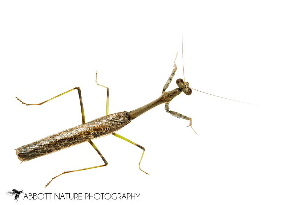 Carolina Mantis (Stagmomantis carolina) male<br /> United States: Alabama: Tuscaloosa Co.<br /> Tulip Tree Springs off Echola Rd.; Elrod<br /> 4-Sep-2017<br /> J.C. Abbott #2981