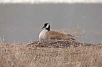 Canadian goose sitting on its nest made of sticks and lined with down feathers.