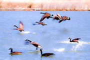 Geese taking off and landing in pond