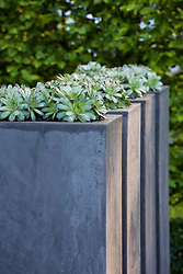 Houseleeks - sempervivum - in tall stone containers
