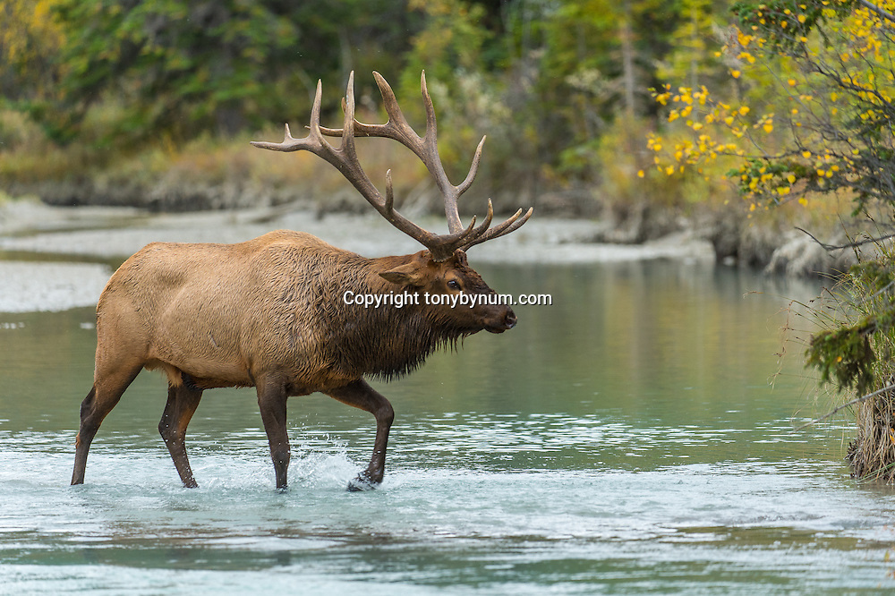 bull elk crossing small stream