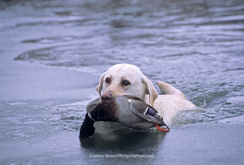 34-267. a yellow Labrador retiever brings a mallard through the ice to the blind during a hunt on the Snake River, Idaho.