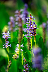 02 June 2014. Jean Lafitte National Historic Park, Louisiana.<br /> Blue flowers in the swamp at the Barataria Preserve wetlands south or New Orleans.<br /> Charlie Varley/varleypix.com