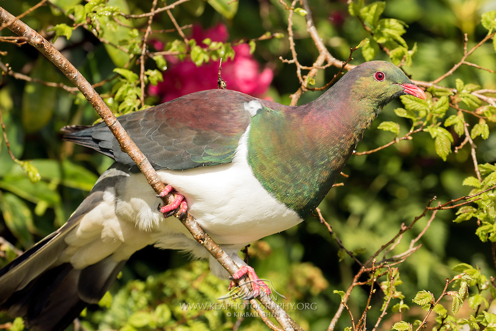 New Zealand Wood Pigeon, Stewart Island, New Zealand