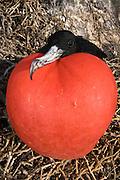 Great Frigatebird (Fregata minor) male with inflated pouch, Hood Island, Galapagos Islands, Ecuador