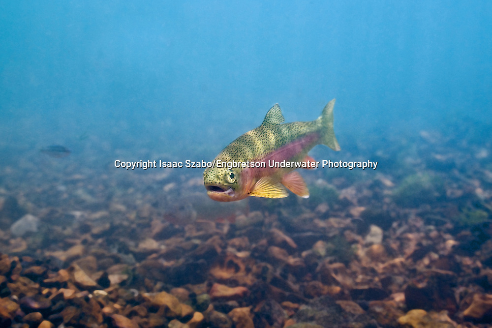 Rainbow Trout<br />