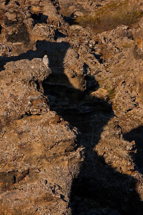 Falco rusticolus; Gyrfalcon; Iceland; Myvatn; Thingeyjarsyslur