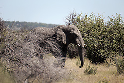 NAMIBIA ETOSHA 28APR14 - An elephant bull strolls through the bush near Okaukuejo, Etosha National Park, Namibia.<br /> <br /> The African bush elephant is the largest living terrestrial animal,<br /> <br />  but mineral deficiencies mean that they have very short tusks.<br /> <br /> jre/Photo by Jiri Rezac<br /> <br /> <br /> <br /> &copy; Jiri Rezac 2014
