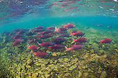 Sockeye (Red) Salmon Stock Photos