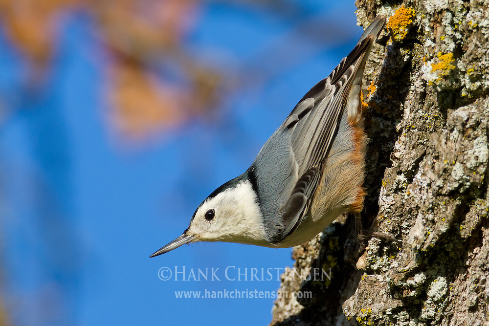 A white-breasted nuthatch clings upside down to the trunk of a tree as it hunts for insects