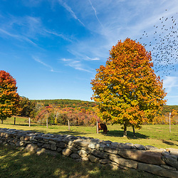Stone wall and maple trees at the Blass Preserve in New Preston, Connecticut.