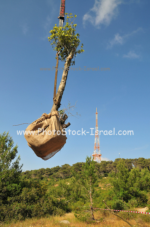 Israel, Carmel Mountain Forest, mature trees are brought to the forest for replanting
