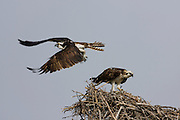 Osprey flying over nest in the Everglades National Park, Florida