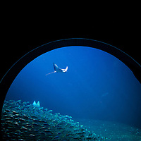TAMPA, FL -- A ray swims through an exhibit at the Florida Aquarium in Tampa, Florida.  The aquarium boast numerous exhibits and ecosystems such as the Wetlands Trail, Bays and Beaches, Coral Reef, and Ocean Commotion.  (Photo / Chip Litherland)