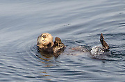 Sea Otters in Alaskan Inside Passage