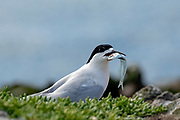 White-fronted Tern with fish, New Zealand