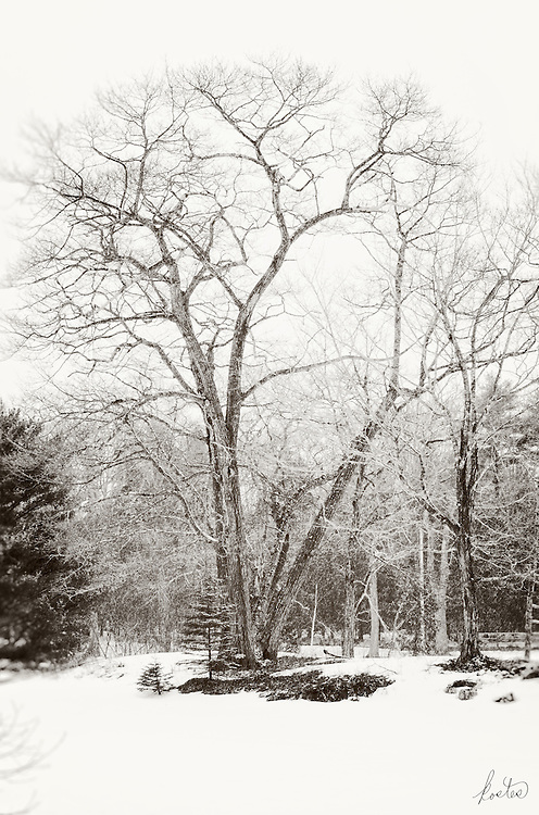 Snow is falling on the old Elm tree who's bare braches reach to the sky. Perfect for Black and White.
