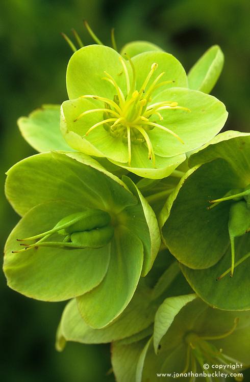 Helleborus corsicus syn H. argutifolius flower and developing seedpods. Corsican hellebore