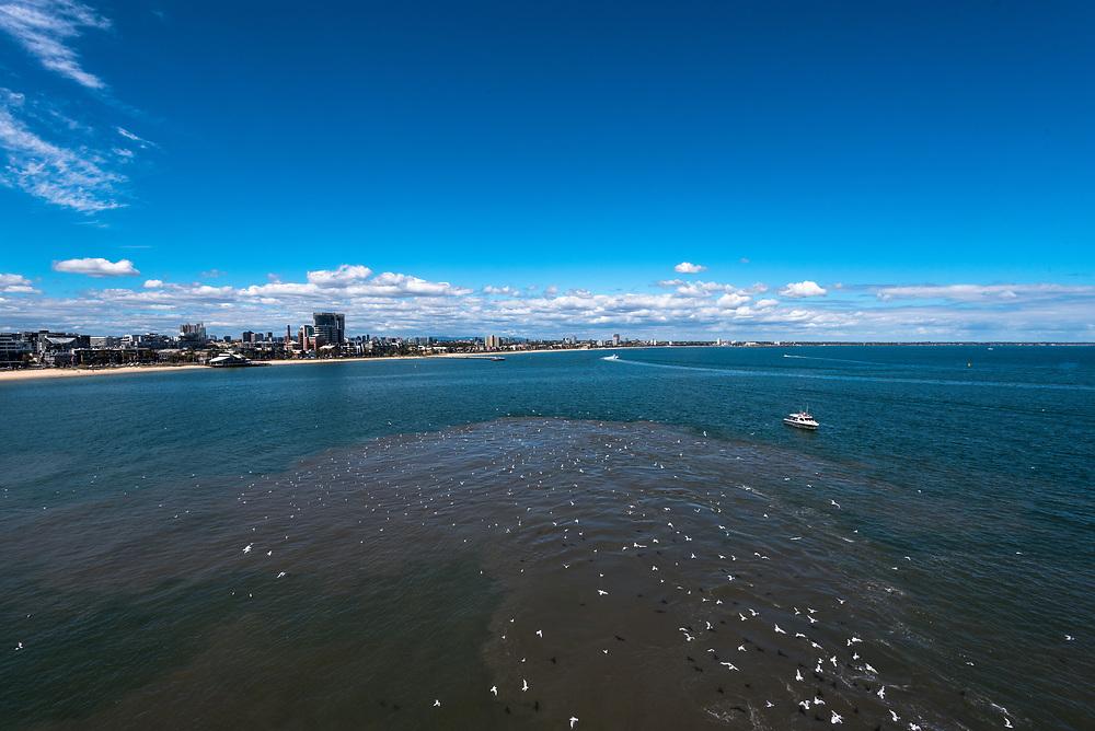 Trail of seagulls leading to the coast of Melbourne, Australia.