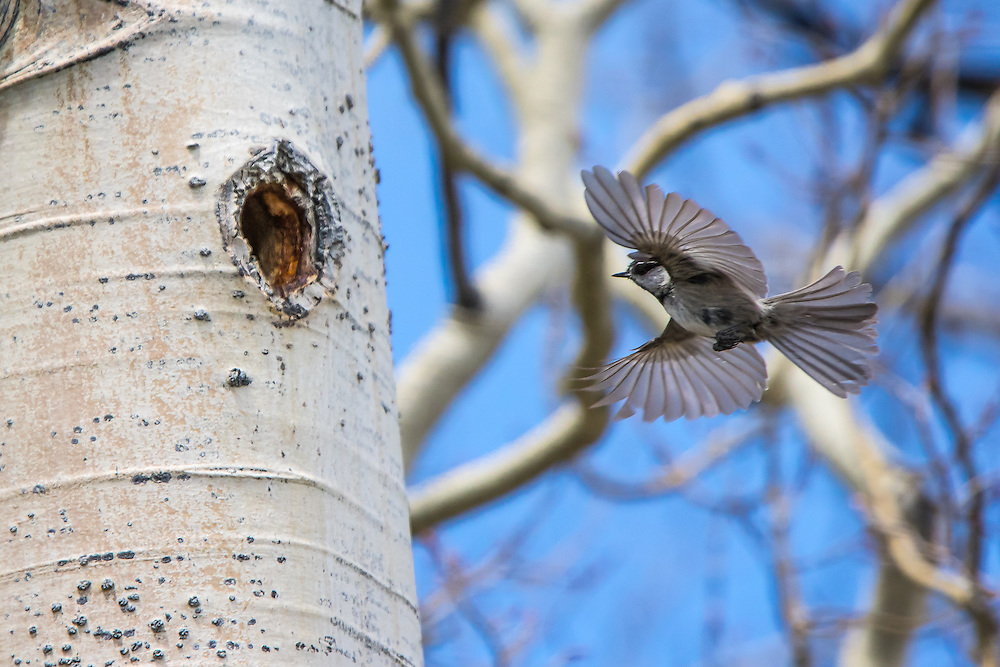 Mountain Chickadee building a cavity nest in an Quacking Aspen tree.