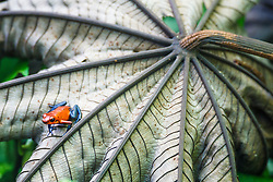 "Strawberry poison-dart frog (Oophaga pumilio), ""blue jeans"" color morph, La Selva Biological Reserve, Costa Rica."