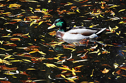 © Licensed to London News Pictures. 08/10/2013<br /> A duck surrounded by autumn leaves.<br /> Autumn sunny weather today (08.10.2013)<br /> The sunny autumn weather continues to shine today at The Priory Gardens,Orpington, London Borough of Bromley,Greater London.<br /> Photo credit :Grant Falvey/LNP