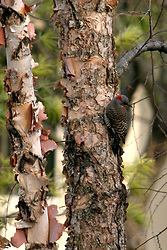 Northern Flicker on river birch tree (Photo by Alan Look)