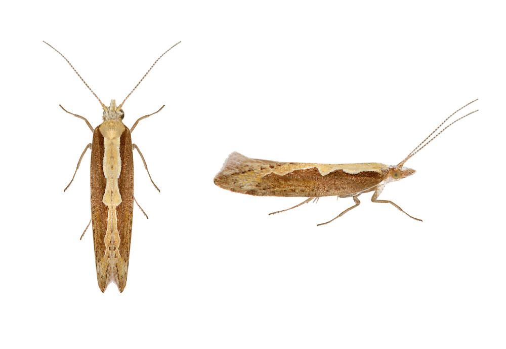18.001 (0464)<br /> Diamond-back Moth - Plutella xylostella