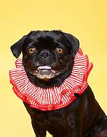 Black pug wearing red and white clown collar smiling on yellow seamless.<br /> Photographed at Photoville Photo Booth September 20, 2015