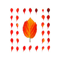 A pattern formed of bright red barberry leaves on a white background (autumn foliage, Bar Harbor, Maine)